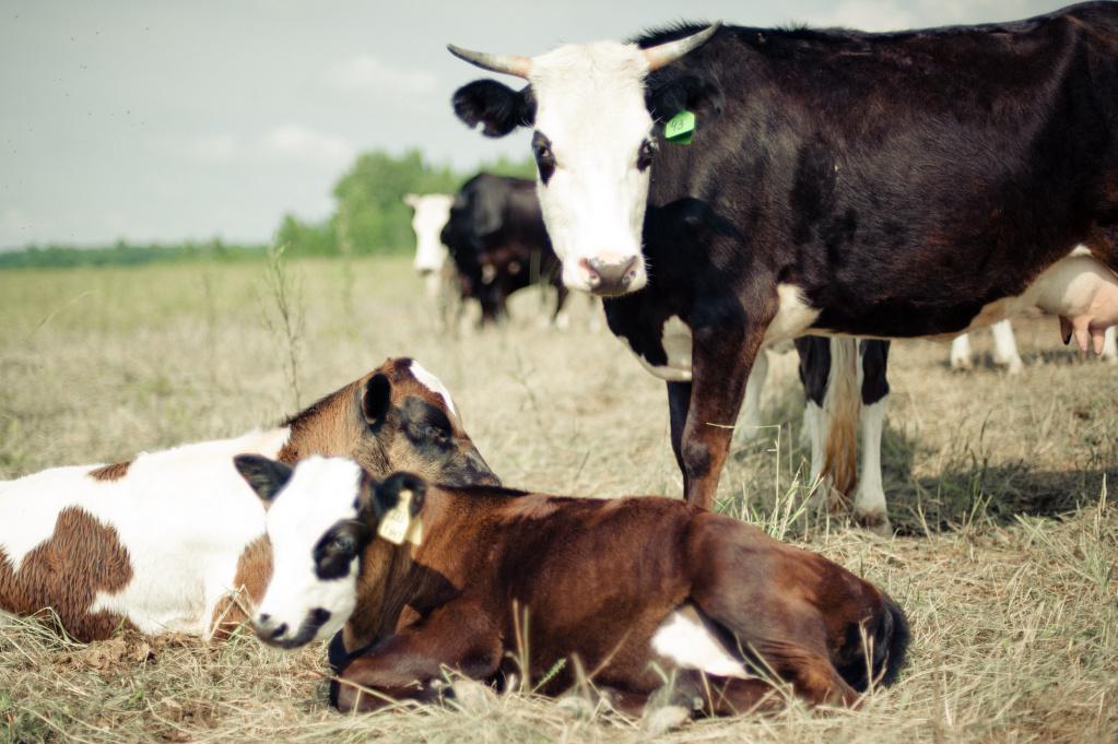 коровы.jpg